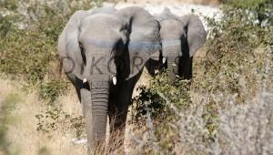 Namibia Rundreise Selbstfahrer Schutzgebiet Etosha Nationalpark Elefanten