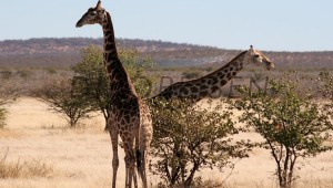 Namibia Rundreise Selbstfahrer Etosha Nationalpark Giraffen Essen an Bäumen