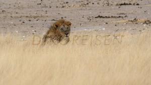 Namibia Rundreise Selbstfahrer Schutzgebiet Etosha Nationalpark Löwe im Gras