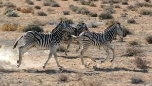 Namibia Rundreise Selbstfahrer Zebras im Etosha Nationalpark Schutzgebiet