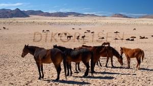 Namibia Rundreise Selbstfahrer Wildpferde auf einer Steppe bei Lüderitz