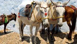 Inselhopping Griechenland Esel auf der Kykladeninsel Santorin