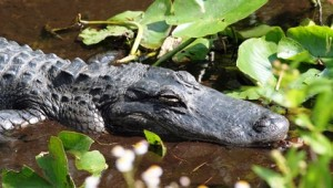 Rundreise Florida Alligator im Sumpf der Everglades