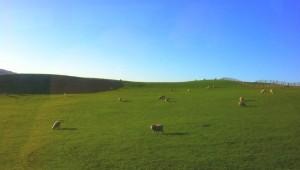 Reisebericht Neuseeland - Schafe auf der Weide