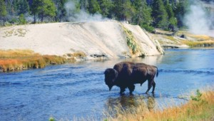 Busrundreise USA Westen - Yellowstone National Park Bison - Wyoming Office of Tourism