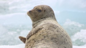 Yukon & Alaska Rundreise - Seal Sawyer Glacier2- State of Alaska - Matt Hage