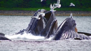 Yukon & Alaska Rundreise - Whales2 - State of Alaska - Reinhard Pantke