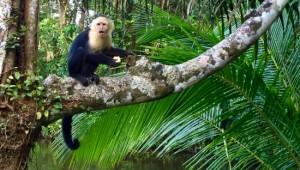 Costa Rica Reiseimpressionen - Affe