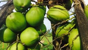 Costa Rica Reiseimpressionen - Früchte