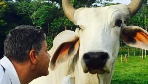 Costa Rica Reiseimpressionen - Kuh